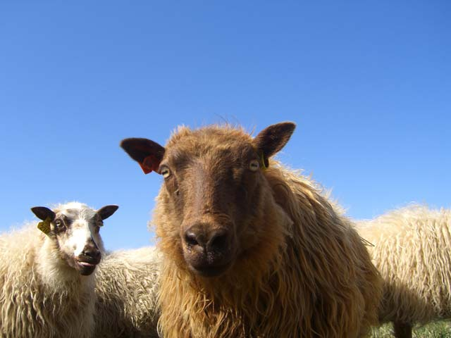 Friendly, colorful Icelandic sheep