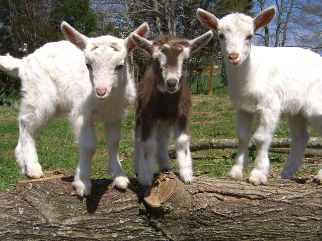 Baby dairy goats playing