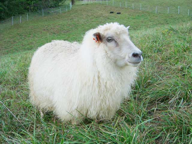 Icelandic sheep in full wool
