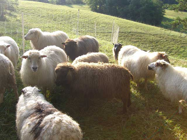 Icelandic sheep crowding around for evening treat of grain