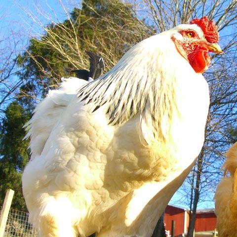 Light Brahma rooster