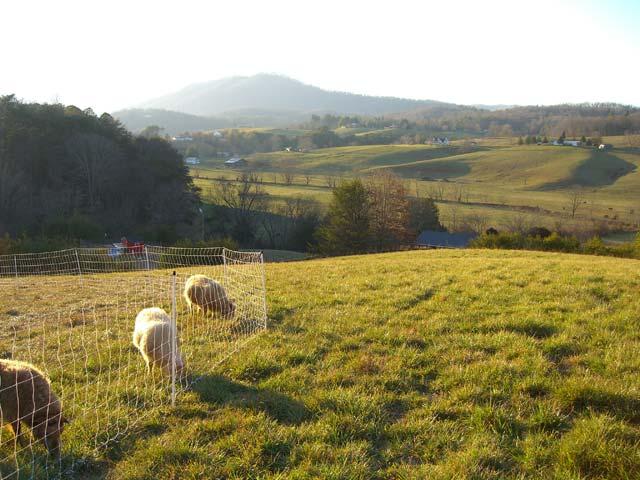 Sheep on green pasture on Christmas 2007