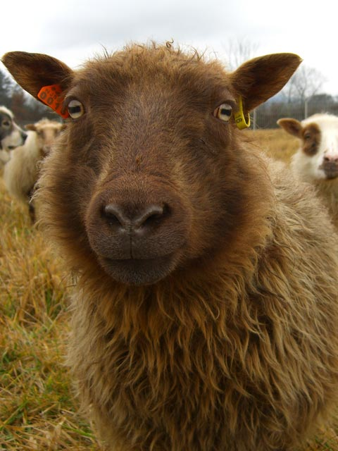 Icelandic sheep (really close-up)
