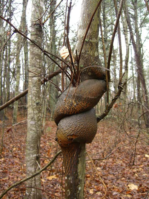 Vine twisted tree