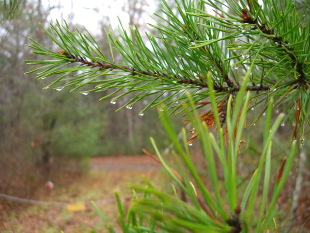 Pine needles in rain