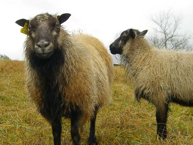 Pair of Icelandic rams