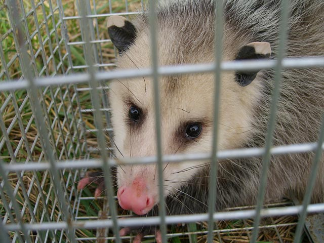 Opossum in chicken coop