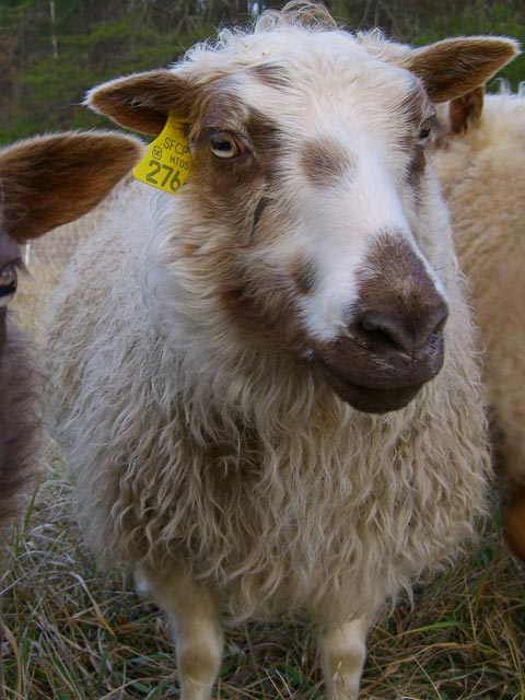 Brown and white panda-colored Icelandic ewe