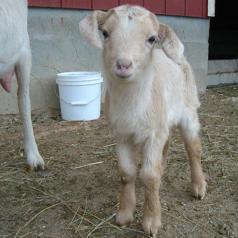 Adorable baby Dairy goat with floppy Ears