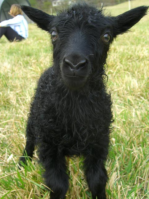 Cute, black Icelandic sheep baby