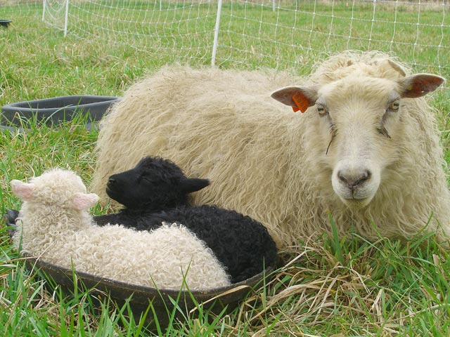 Icelandic sheep mom with her twin lambs