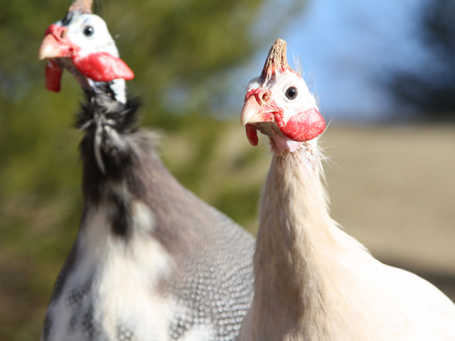 Guinea rooster and hen