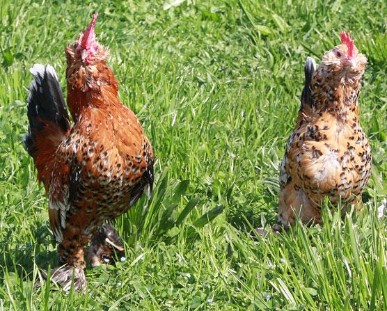 Mille Fleur, bantam rooster and hen