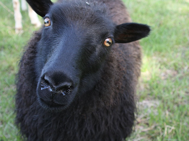 Close-up of black Icelandic sheep lamb