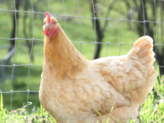 Surprised looking Buff Orpington hen