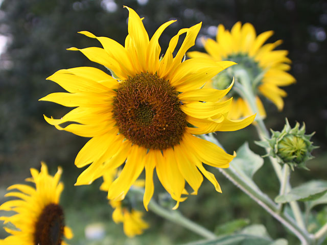 Close-up of wild sunflower