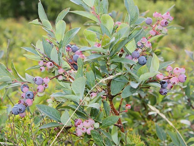 Wild blueberries on Blue Ridge Parkway