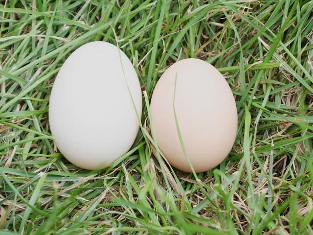 Duck egg and chicken egg