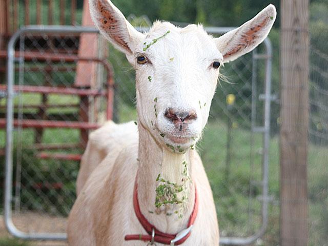 Goat eating the garden