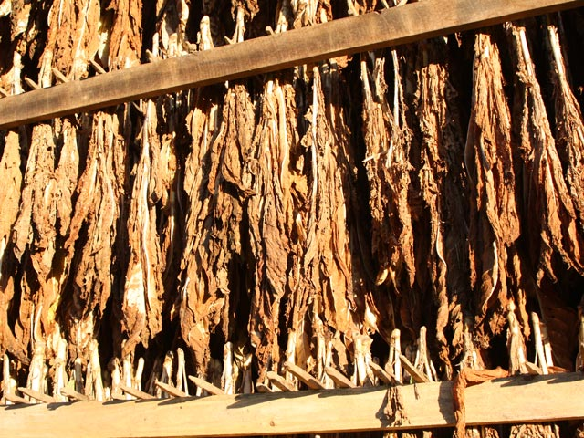 Tobacco leaves drying in open-air tobacco barn