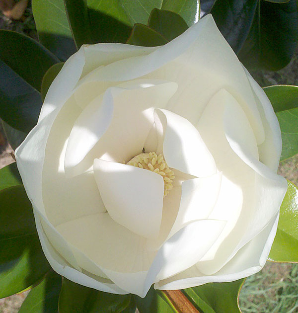 Fragrant Magnolia flower