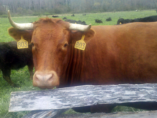 Brown cow along roadside fence