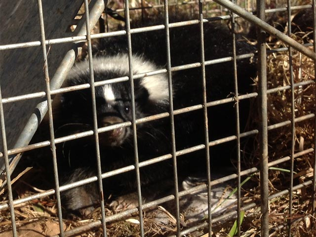 Skunk caught in chicken coop