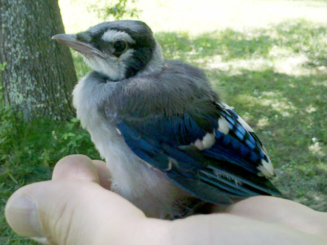 Baby Bluejay rescue