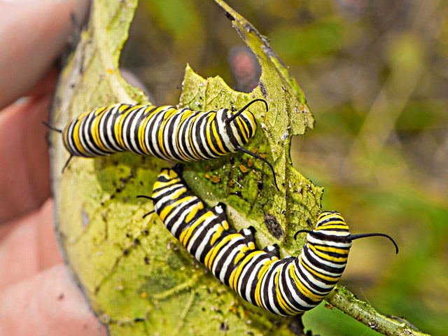 Monarch caterpillars on milkweed