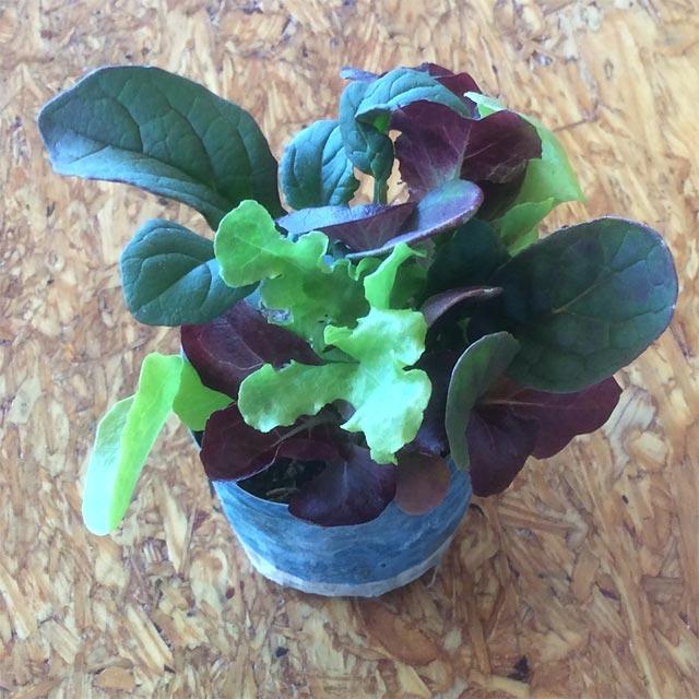 Starting spring garden lettuce indoors in dixie cups