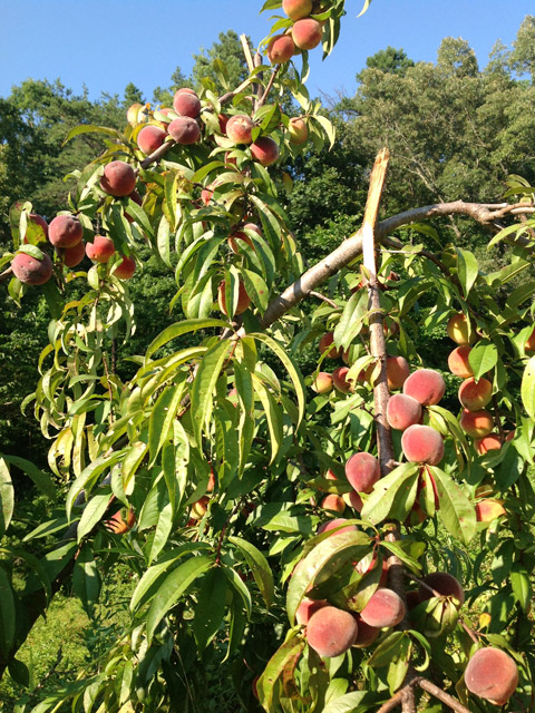 Tree overloaded with peaches