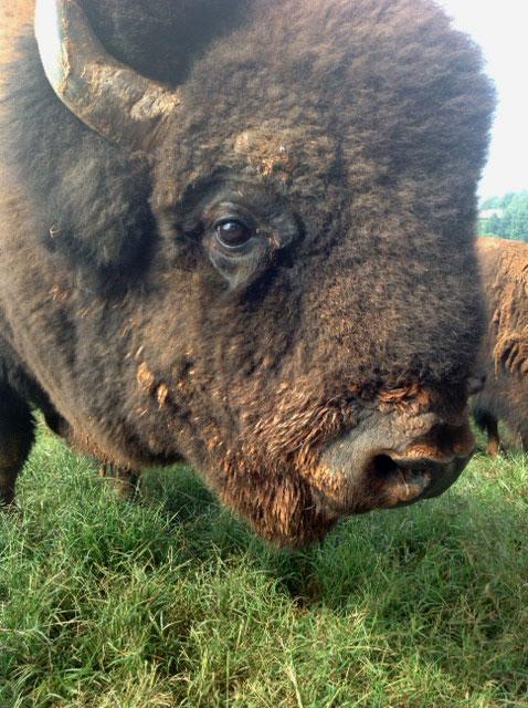 Close-up of buffalo at Carolina Bison