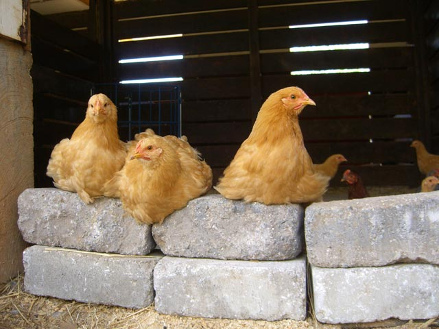 Hens relaxing in the barnyard