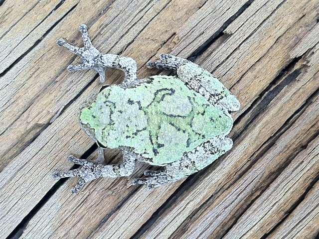Little frog in moss-colored camo