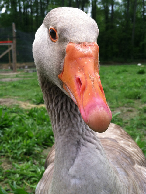 Toulouse farm goose