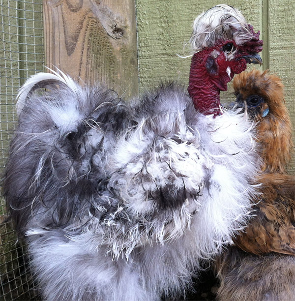 Turken - Silkie chicken cross