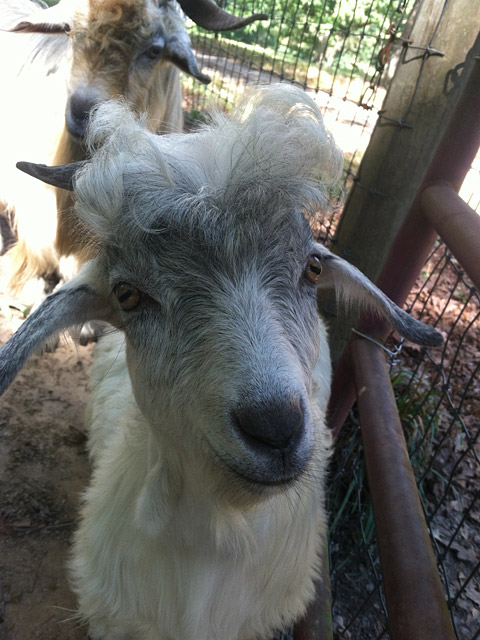 Adorable young Cashmere goat buck