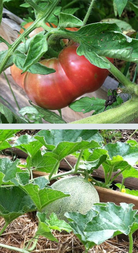 Volunteer vegetable garden