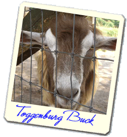 Toggenburg and Nubian dairy goats in Asheville, NC